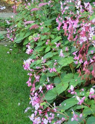 begonia grandis evansiana grown en masse in the shady part of the garden