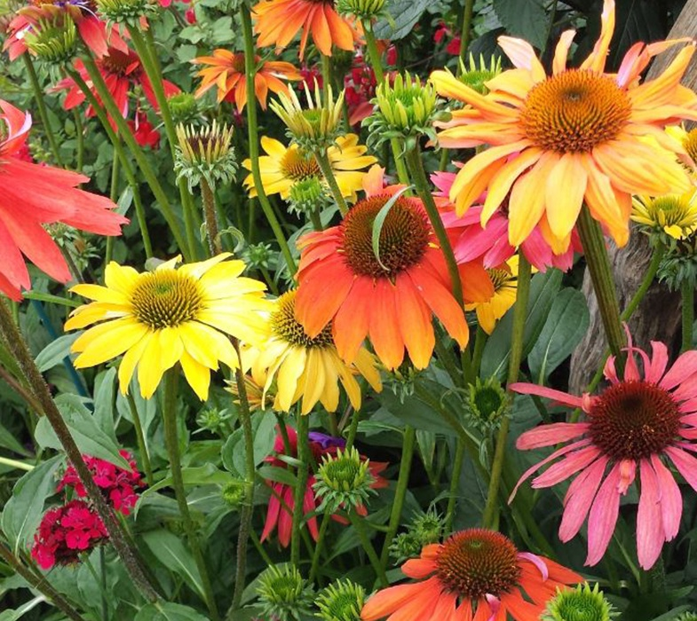 an array of coloured echinacea