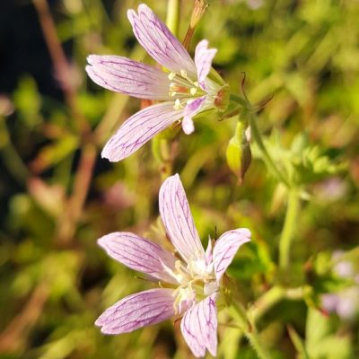 geranium oxonianum david mcclintock