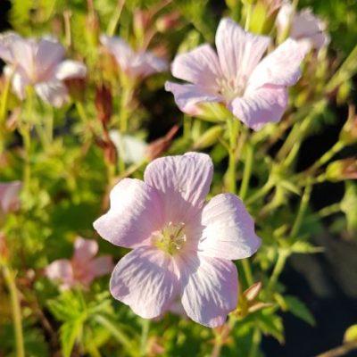 geranium frank lawley
