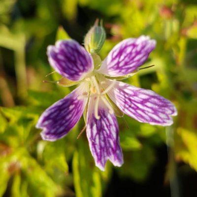 geranium katherine adele
