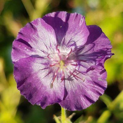 geranium phaeum lily lovell