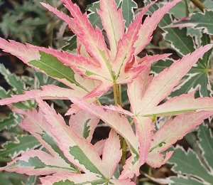 Acers are wonderful specimen plants