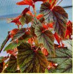 Conservatory plants - Begonia 'Red Undies'