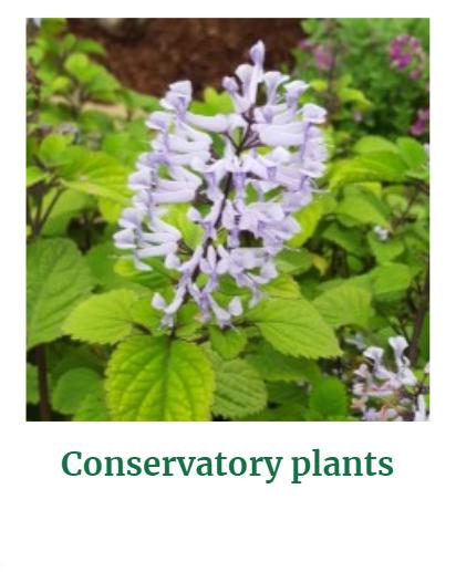 Shop for Conservatory Plants