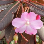 Impatiens sodenii red leaf form Very rare and unusual