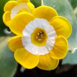 A stunning bright yellow Primula auricula