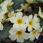 Primula port and lemon another vulgaris variety with bronze leaves