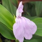 Roscoeas - a delightful lilac Roscoea