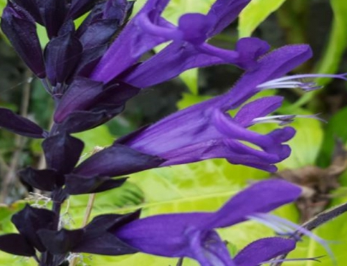 Plant Profile | Salvias (Sage)