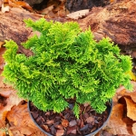 Dwarf conifer chamaecyparis villa marie