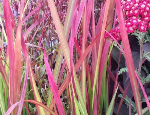 Plant Profile | Ornamental Grasses