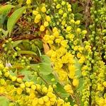 yellow flowered mahonia