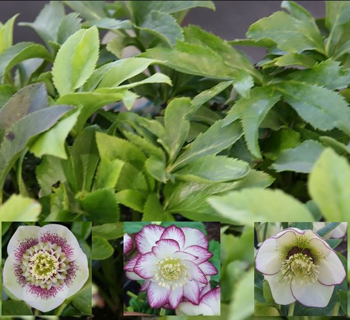 Removing hellebore leaves before flowering
