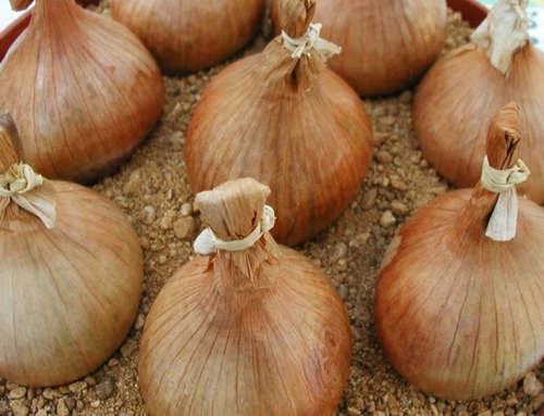 A Guide to Growing Onions in your Garden