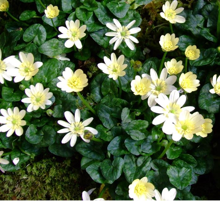 beautiful celandine. these look stunning when planted in a drift.