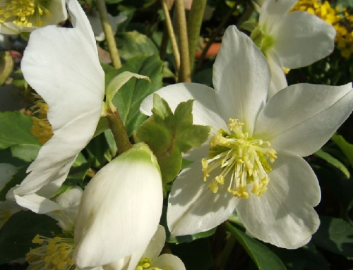 Lenten Roses – winter gems for your garden