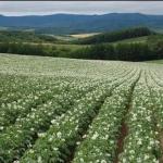 a field of potato plants