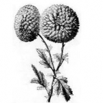 black and white line drawings of chrysanthemums