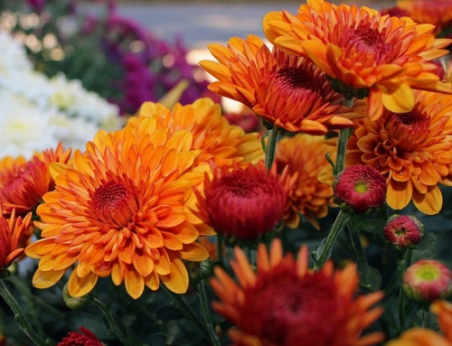Childhood memories of Hardy Chrysanthemums
