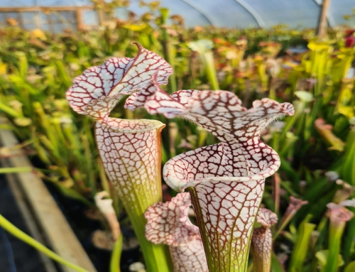Sarracenia or The Pitcher Plant