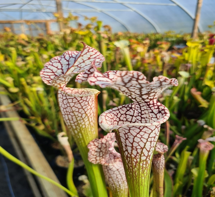 sarracenia white with red vein