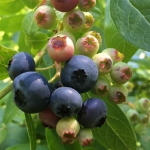 juicy coville blueberries on the bush