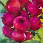 new deep pink blueberries on the bush