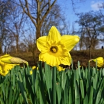 Daffodils by the wayside