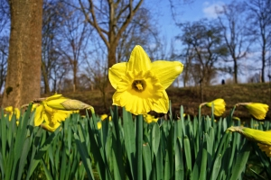 Daffodils by the wayside on a spring day