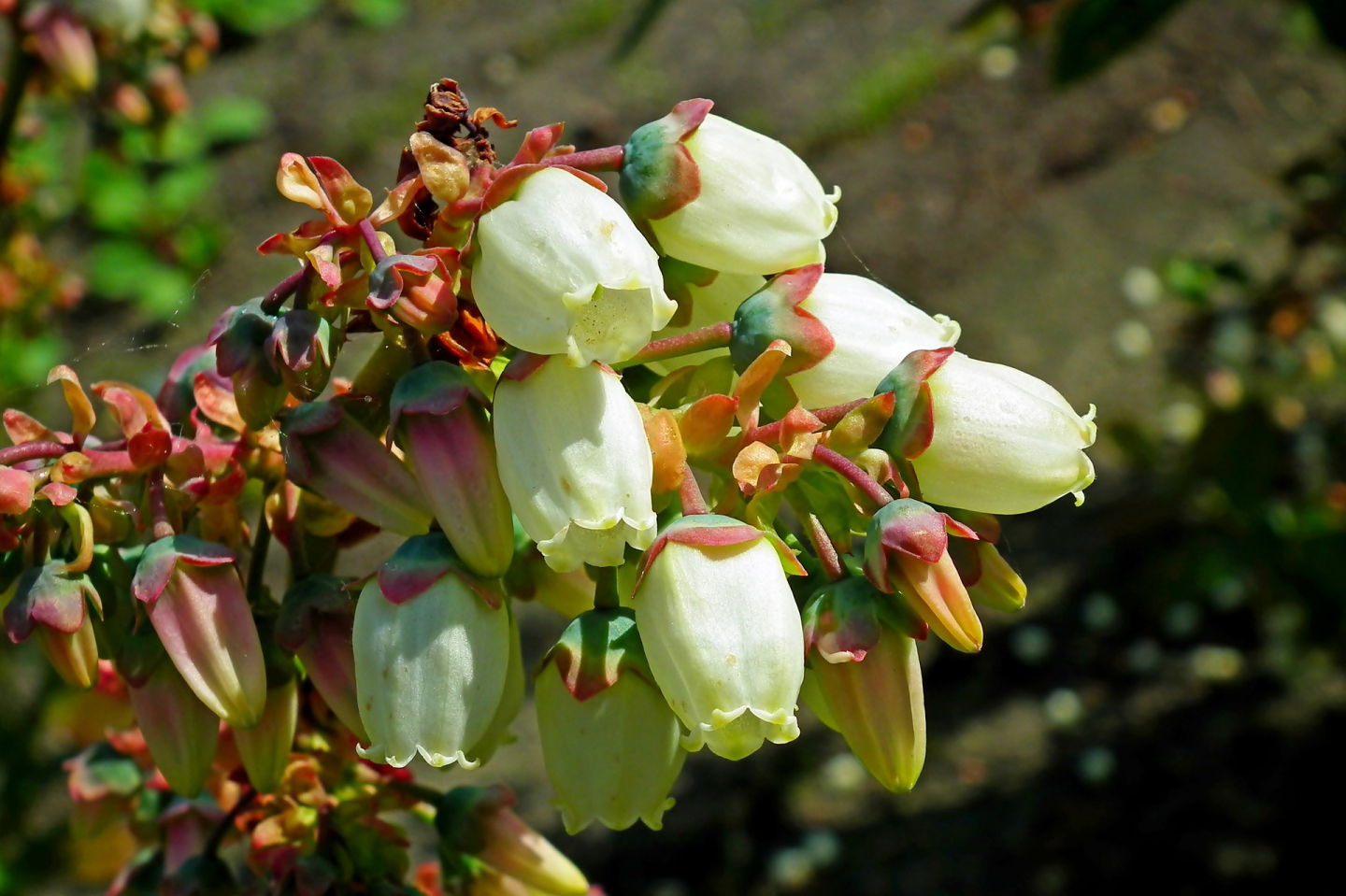 a cluster of blueberry flowers