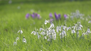 Snowdrops in a field, first sign of spring