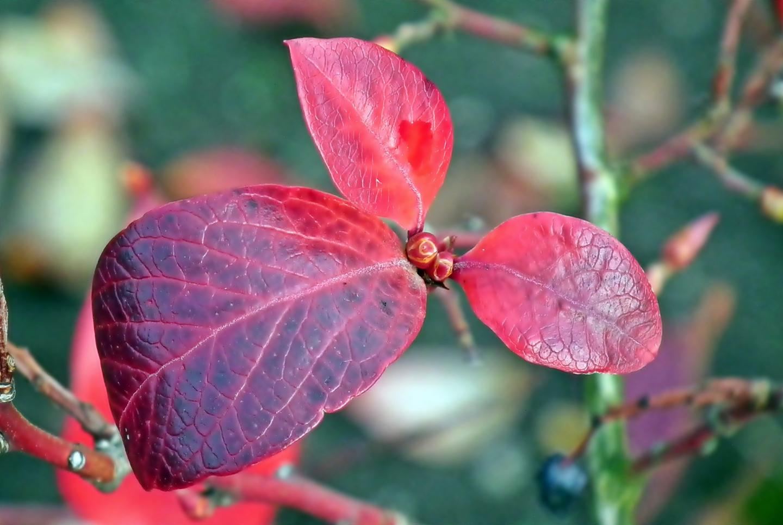 lovely autumn foliage on a blueberry plant