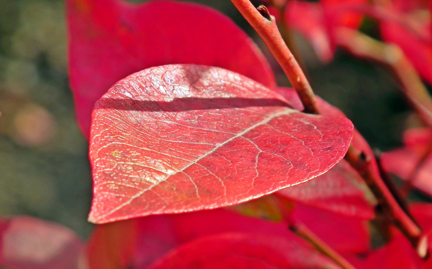 autumnal leaves on a blueberry plant