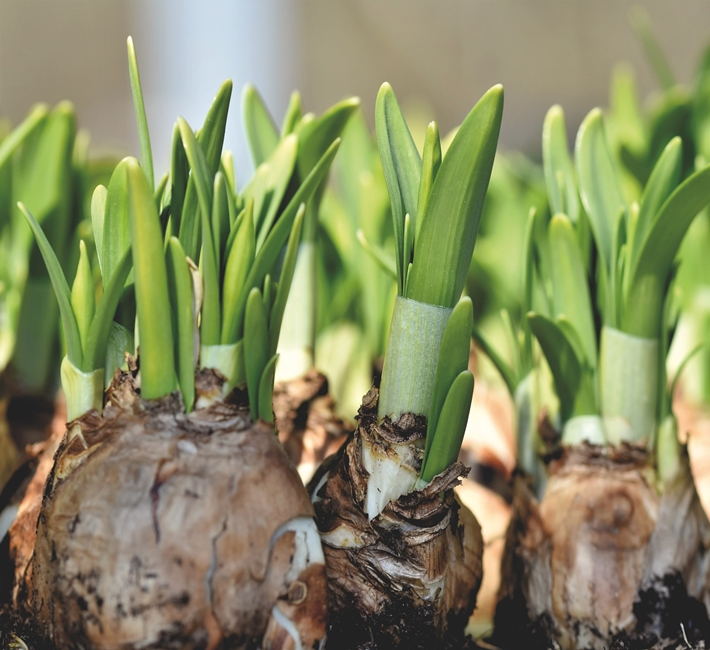 new shoots growing from daffodil bulbs