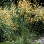 stipa gigantea is ideal for prairie planting