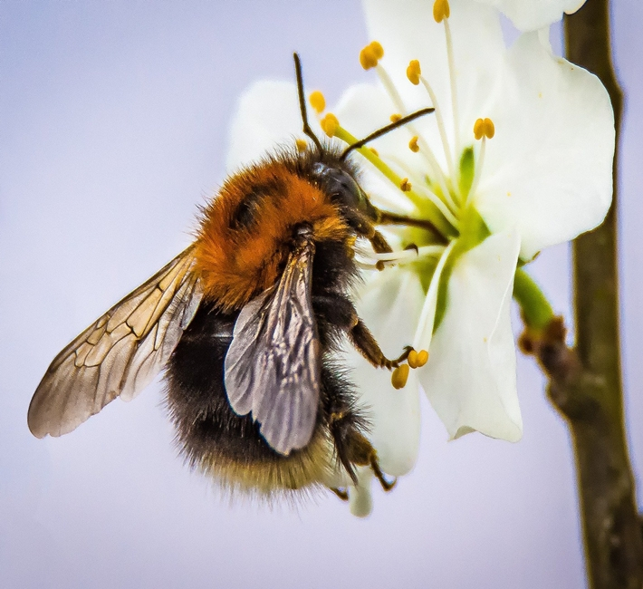 bumblebee on a blossom