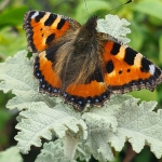 painted lady butterfly having a rest on a plant