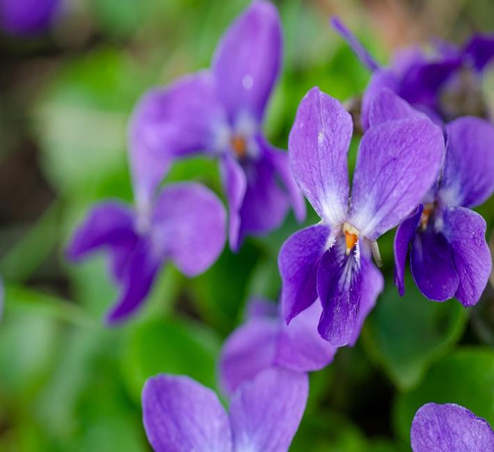 Sweet violets or viola odorata in their natural habitat